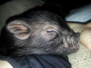 Sweet little piggie.