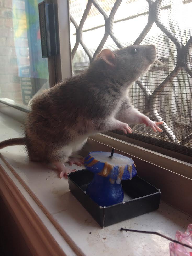 rat 4